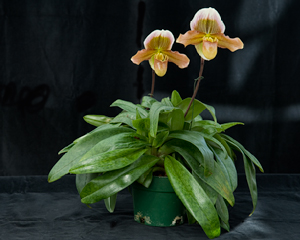 Paphiopedilum, Gege Huges 'Harvest Moon' x Master Jeweller 'New Cooper'