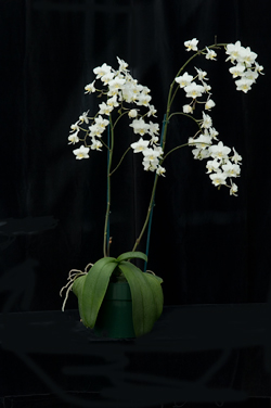 Phalaenopsis Brother Little Amaglad